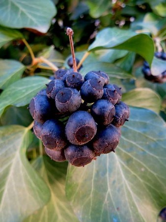 Fruits d'heura (Hedera helix)